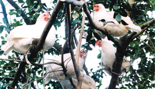 Chickens Roosting in Trees