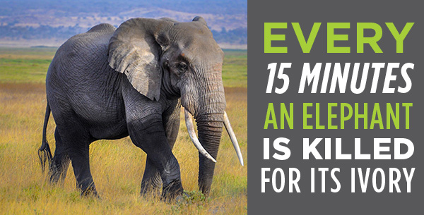 Every 15 minutes an elephant is killed for its ivory