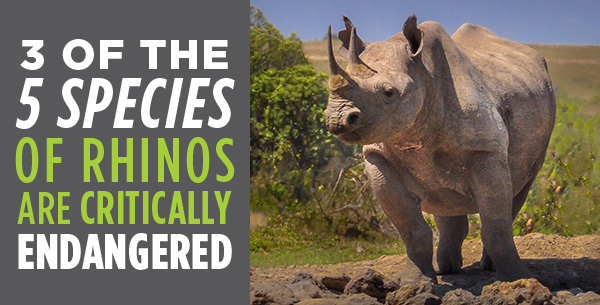 3 of the 5 species of rhinos are critically endangered