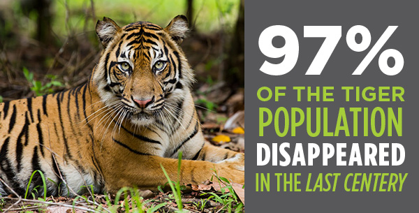 97% of the tiger population disappeared in the last century