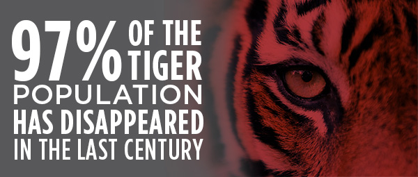 97% of the tiger population has disappeared in the last century